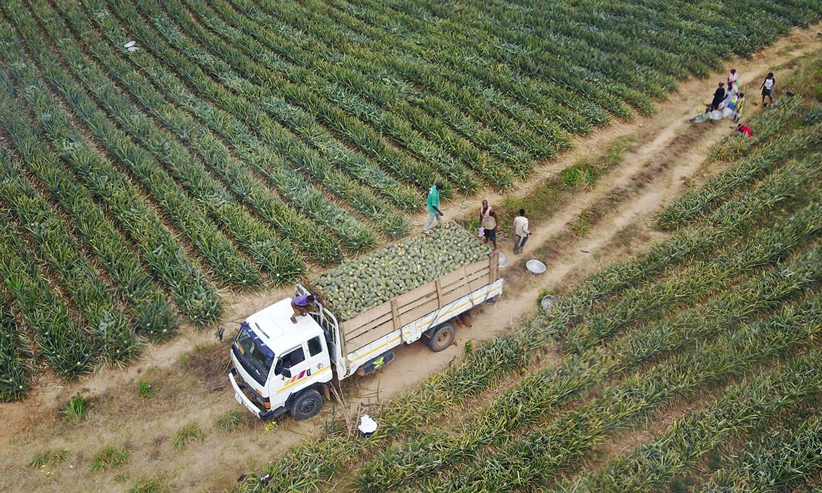 Drone footage of pineapple farmers in Ghana