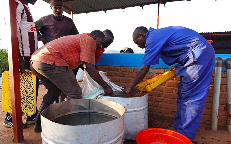 Guys cleaning coffee cherries in Rwanda