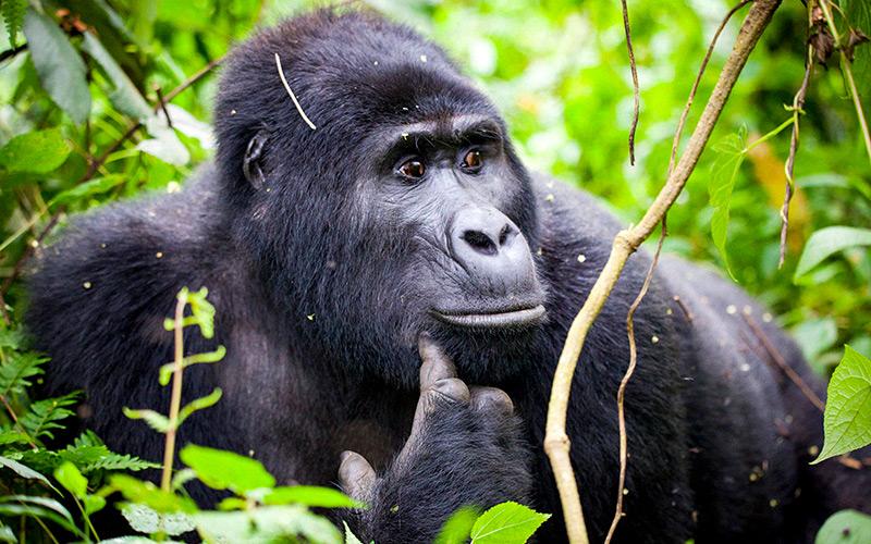 Close up of mountain Gorilla in Rwanda National Park